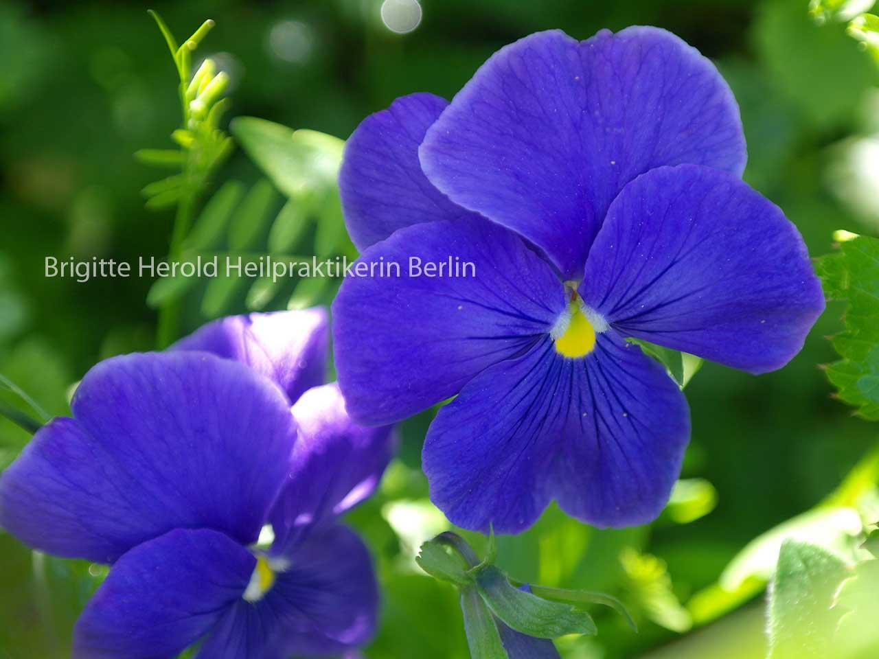 Bachblüten Berlin - Brigitte Herold